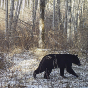 When a Bear Finds You in The Snow