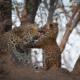 Amy Attenborough About Amy Leopard Cubs
