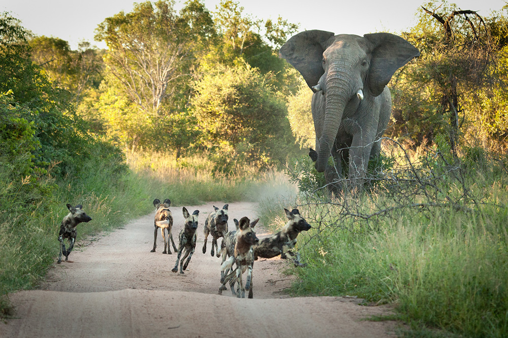 Privately Guided Safaris Wild Again, Wild Dogs
