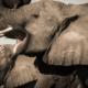 Abucamp - Safari - Wild Again - Elephants