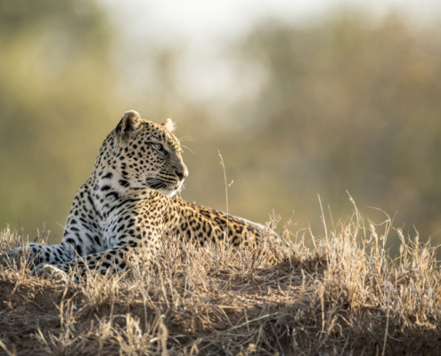 Cheetah - Private Guides - Wild Again