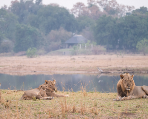 Chikwenya Wildlife Lions - Private Guides - Wild Again