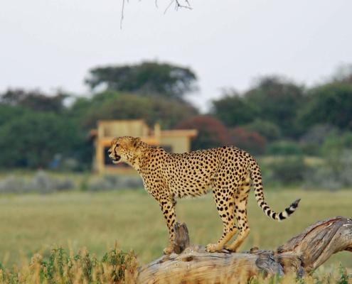 Kalahari Cheetah - Private Guides - Wild Again