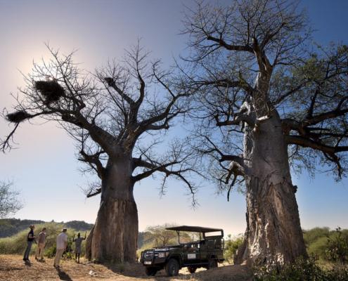 Pafuri Trees - Wild Life - Wild Again