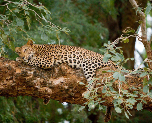 Pafuri Wildlife - Leopard In Tree - Private Guide