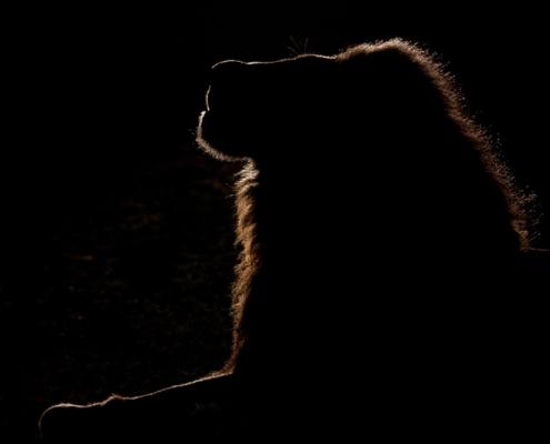 Private Guides - Wild Again - Lion