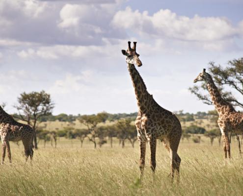 Serengeti Wildlife - Private Guides - Wild Again