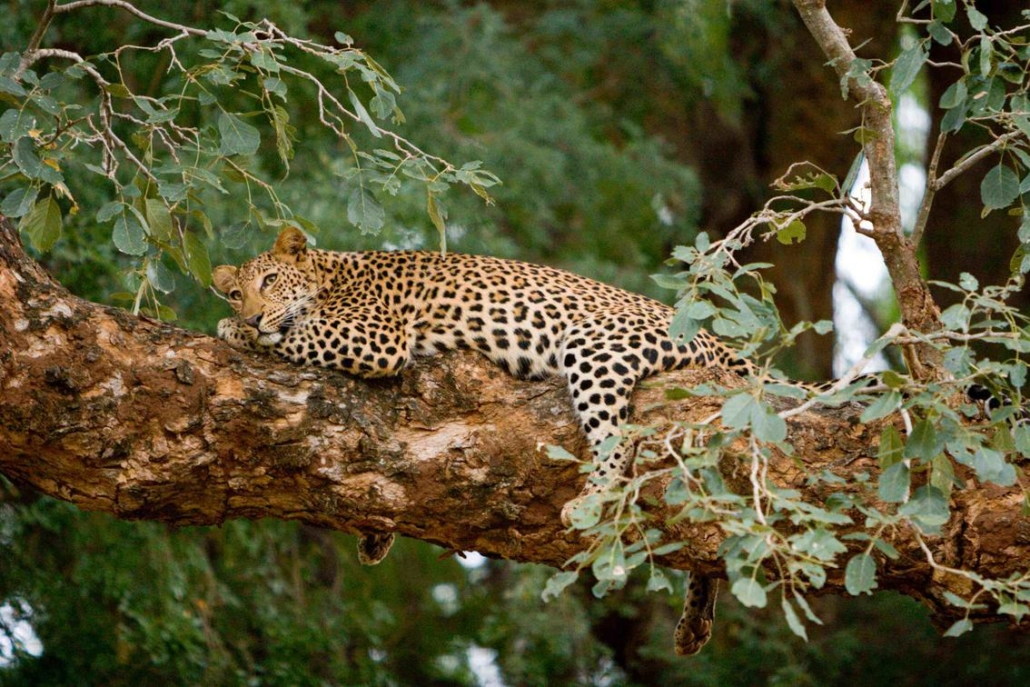 Pafuri Wild Again Wilderness Walking Retreat Leopard