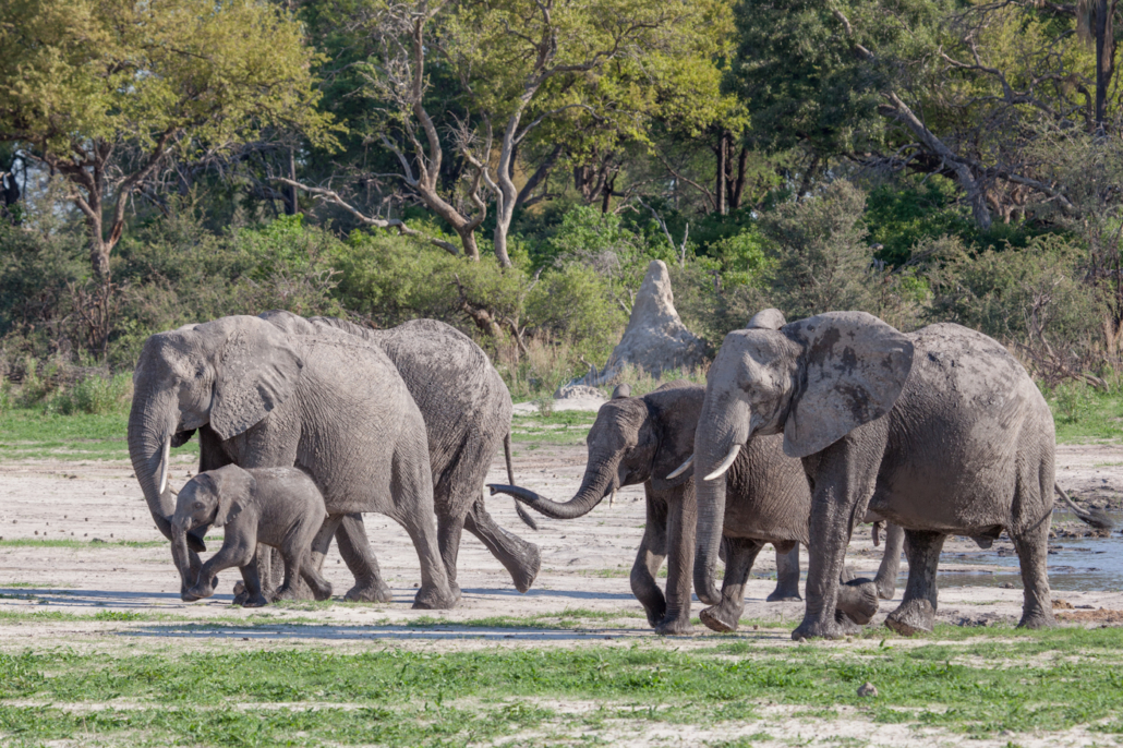 Summer Safari Botswana and Zambia. Elephants Chitabe