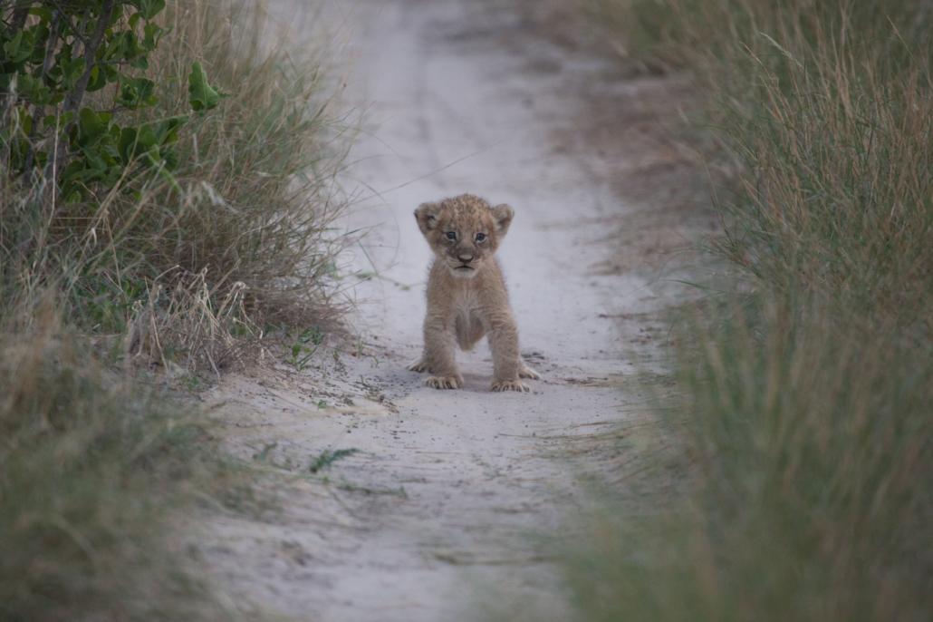 Summer Safari Botswana and Zambia. Lion cub Kalahari Plains