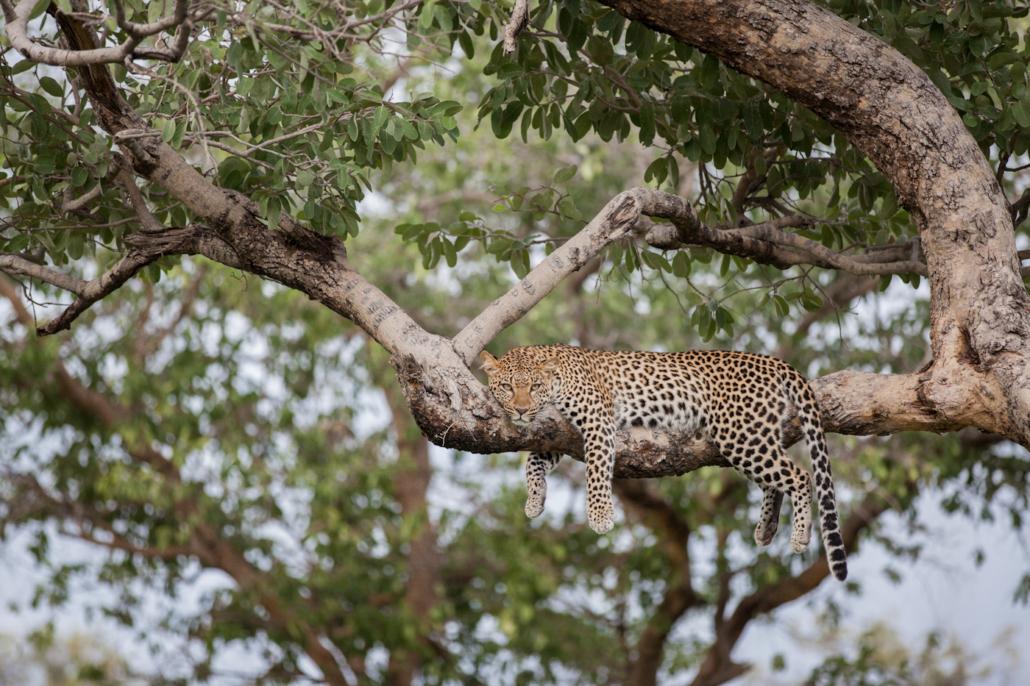 Wild Again, Leopard, Mombo, Yin Yoga,