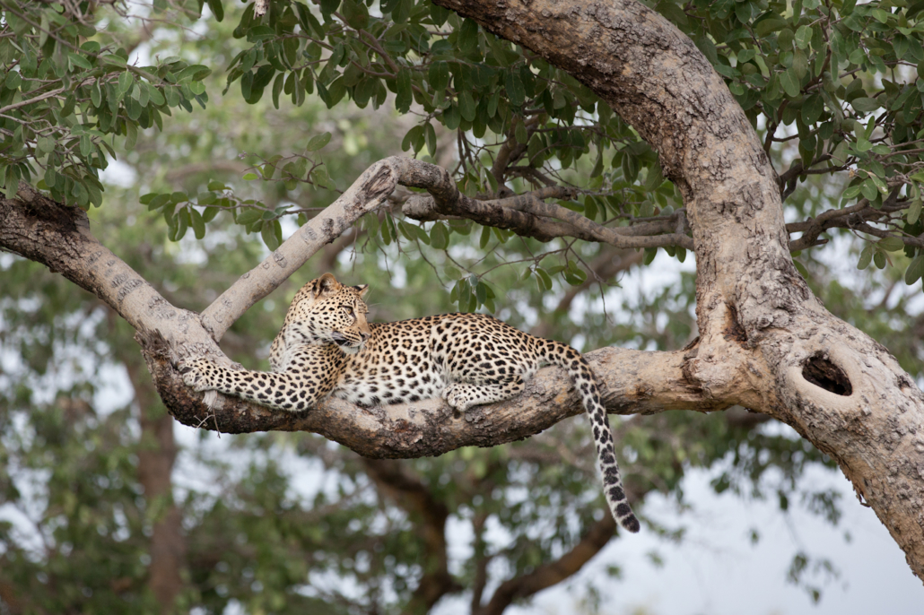 Wild Again, Mombo, Yin, Leopard, Apple Leaf
