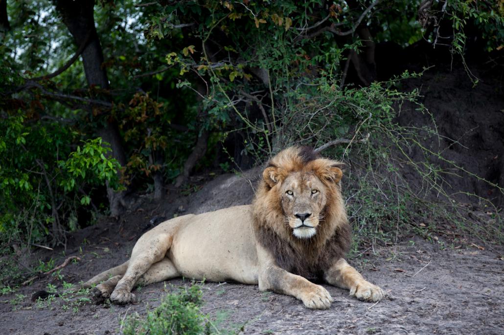 Wild Again, Mombo, Lion