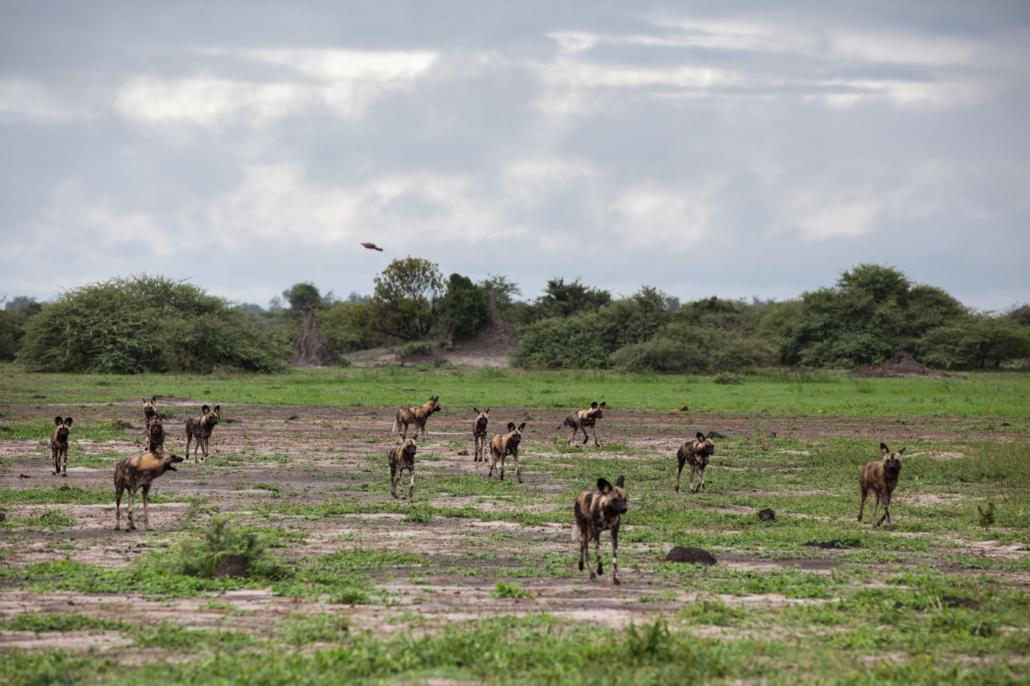 Mombo Amy Attenborough wild dogs