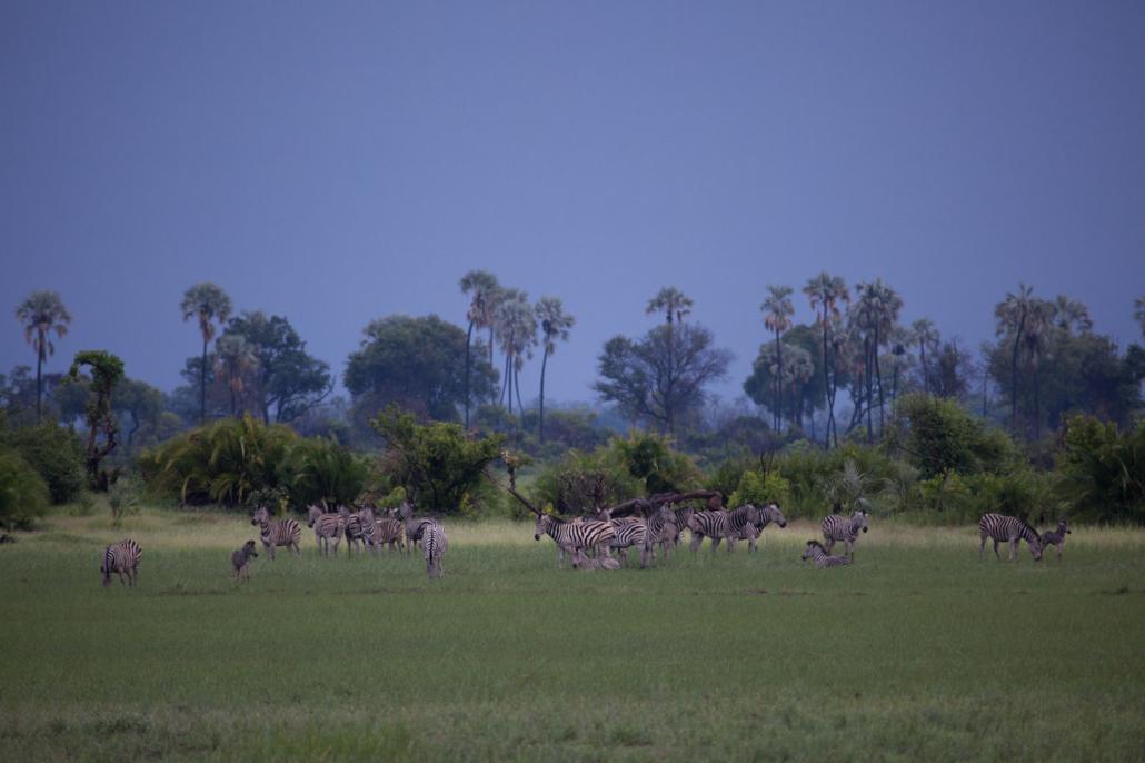 Mombo Amy Attenborough zebra