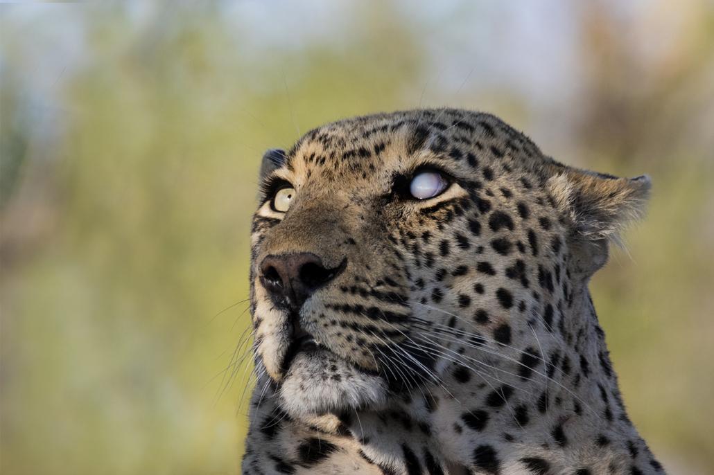 Wild Again, Amy Attenborough, Londolozi, Legendary Leopard