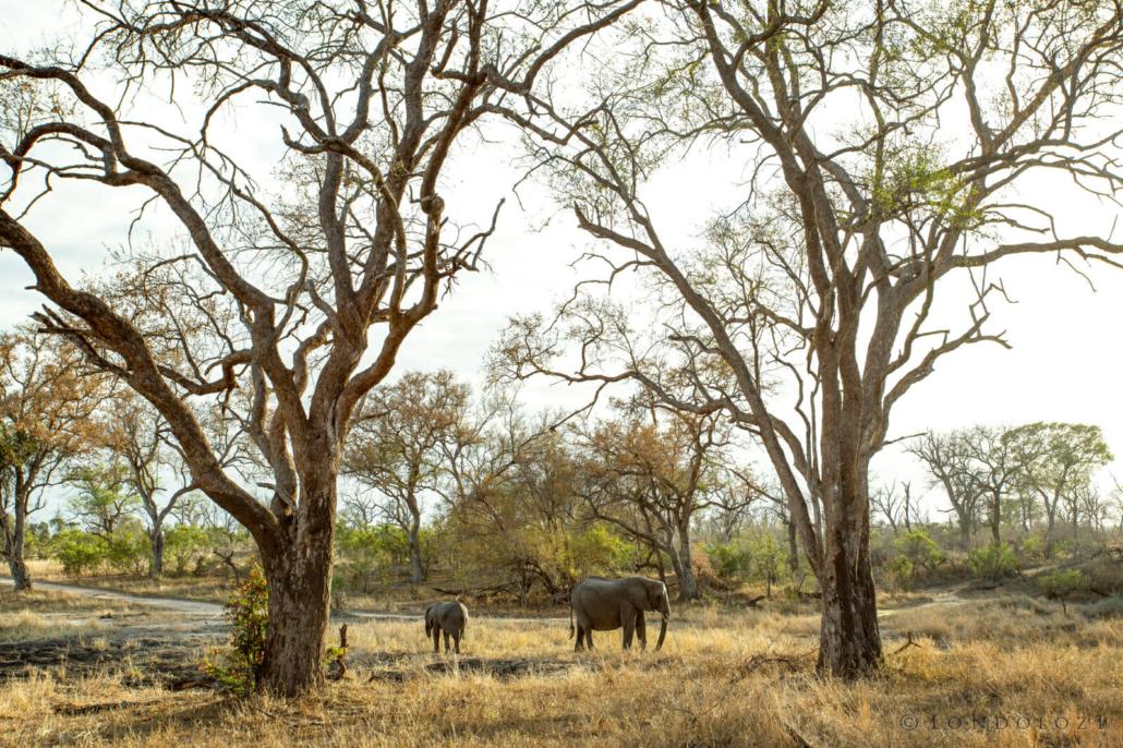 Elephants, Leadwood forest, Winter