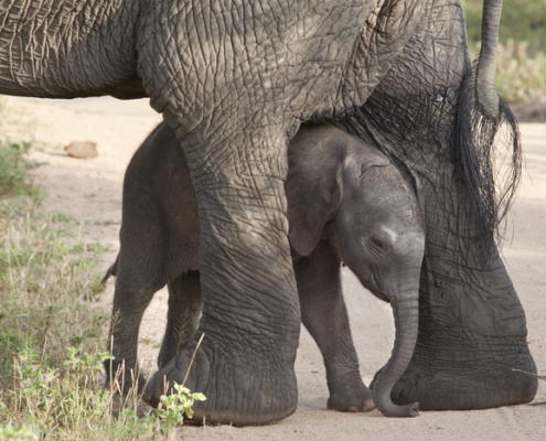 Wild Again, baby elephant, mother's day