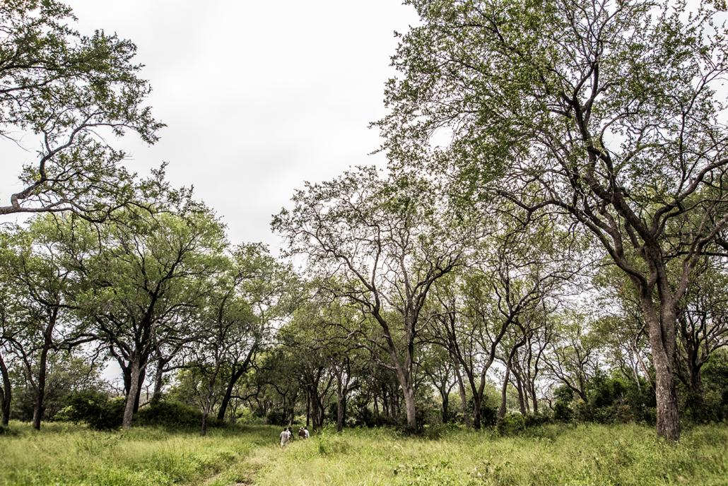 Wild again, Leadwood Forest, Walking, Londolozi