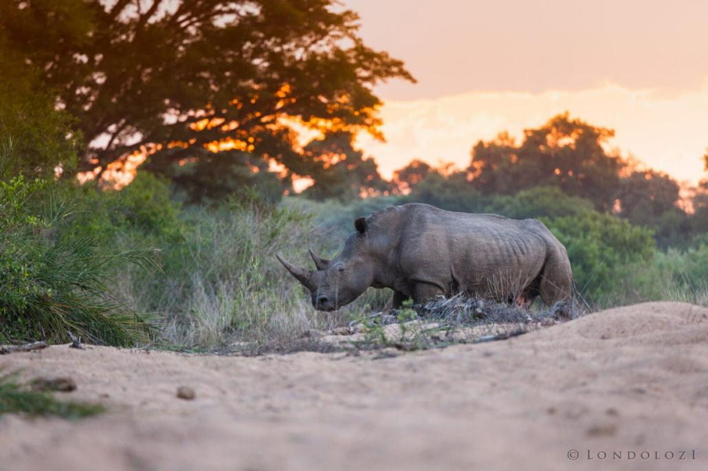 Rhino, Walking, Manyaleti Riverbed