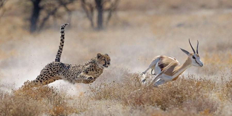 cheetah chase, springbok, evolution