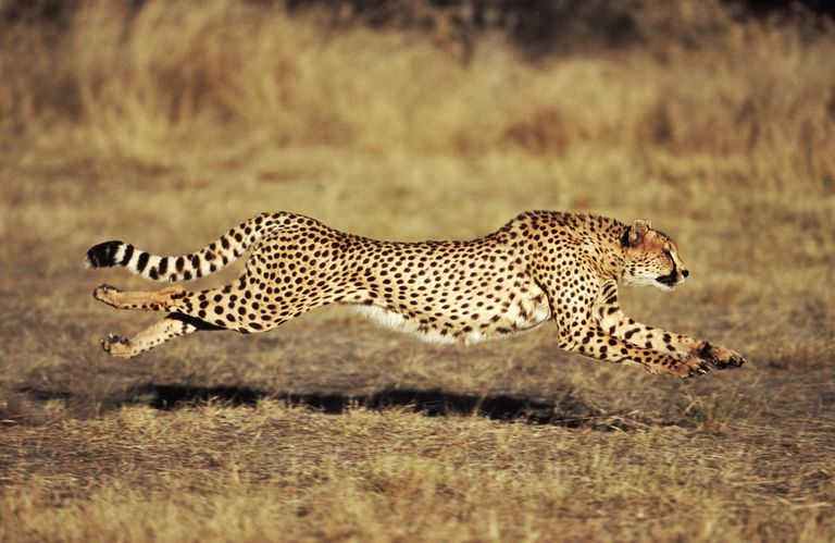 new year, resolutions, cheetah, chase